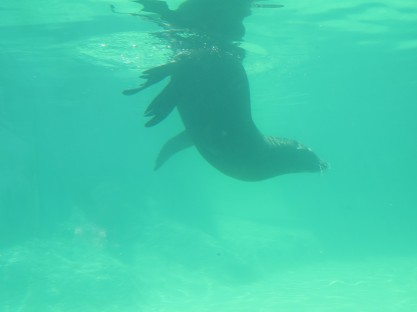 Sea Lion looking for fish